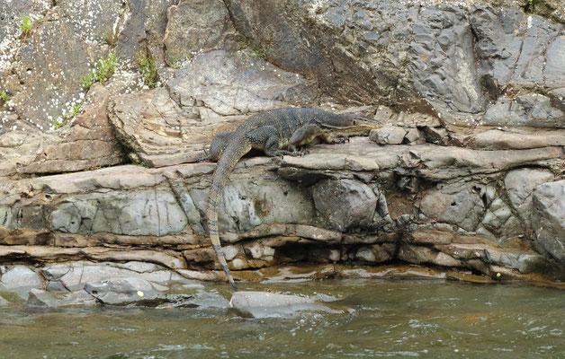 Asian Water Monitor (Varanus salvator)