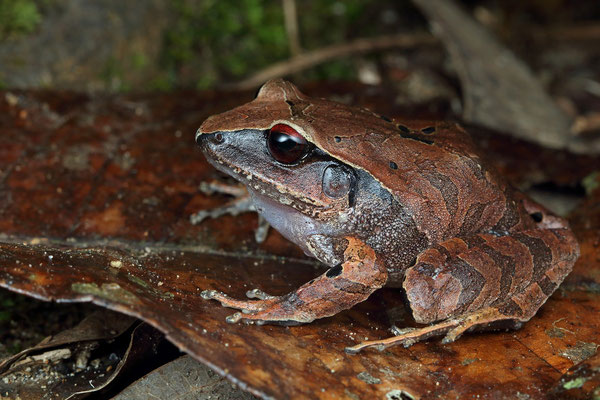 Montane Robber Frog (Craugastor lineatus)