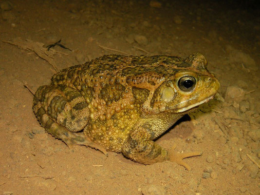 Guttural Toad (Amietophrynus gutturalis)