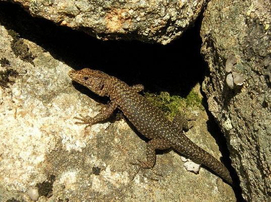 Bedriaga's Rock Lizard (Archaeolacerta bedriagae paessleri), Sardinia, Italy, May 2011