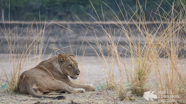 Another tired Lion (Panthera leo).