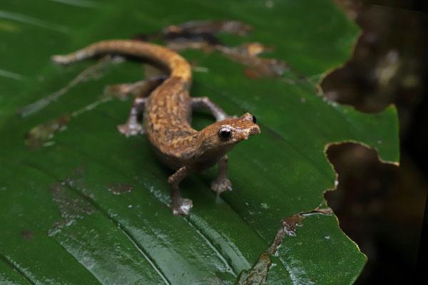 Ridge-headed Webfoot Salamander (Bolitoglossa colonnea)