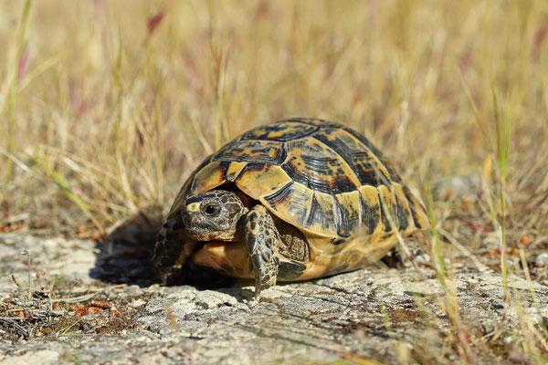 Spur-thighed Tortoise (Testudo graeca graeca)