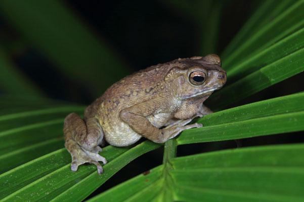 Brown Tree Toad (Rentapia hosii)