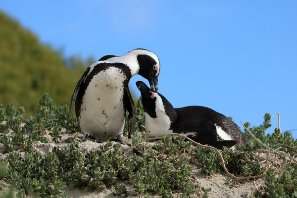 A moment of tenderness between two African Penguins (Spheniscus demersus).