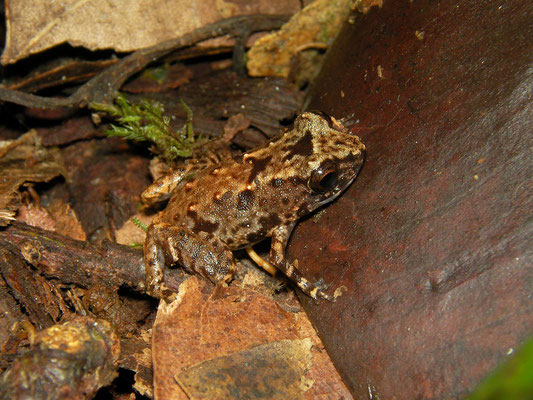 Juvenile Thomasset's Frog (Sooglossus thomasseti) can be confused with Seychelles Pygmy Frog but the latter lacks the thin white stripe running along the centre of the back.