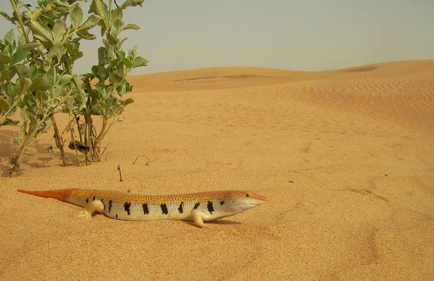 Arabian Sand Skink (Scincus mitranus) in habitat