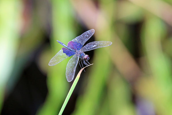 Phantom Flutterer (Rhyothemis semihyalina)