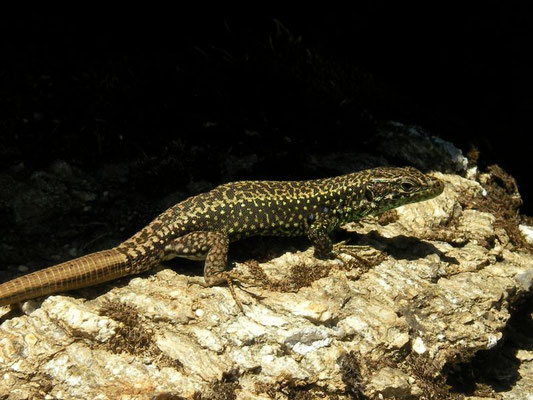 Leon Rock Lizard (Iberolacerta galani), Leon, Spain, August 2013