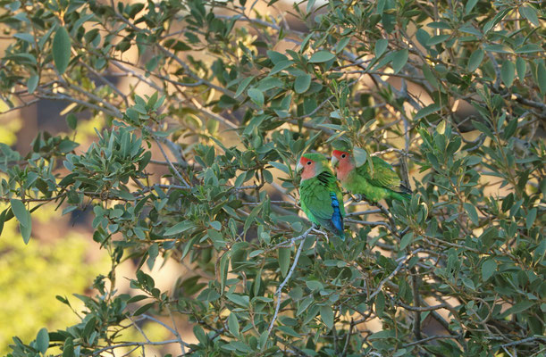 Rosy-faced Lovebirds (Agapornis roseicollis)