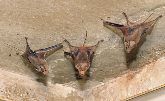 Greater Mouse-tailed Bats (Rhinopoma microphyllum)