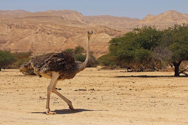 Ostrich (Struthio camelus) female