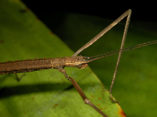 Seychelles Stick Insects (Carausius sechellensis)