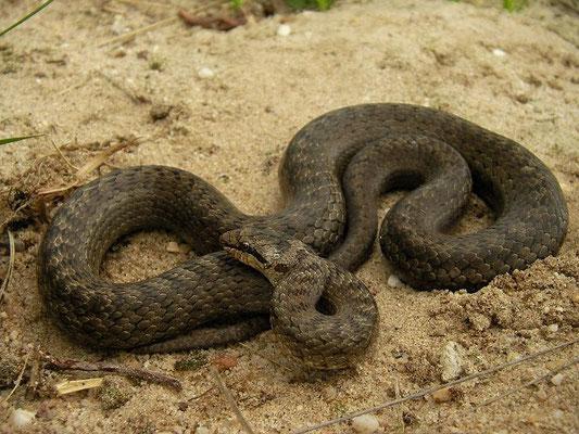 Smooth Snake (Coronella austriaca), Veluwe, the Netherlands, June 2009