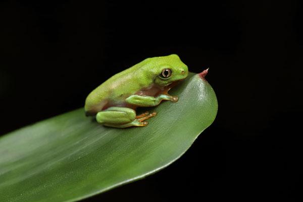 Golden-eyed Leaf Frog (Agalychnis annae) metamorph