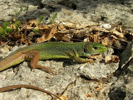 ern Green Lizard (Lacerta viridis), Lovcen, Montenegro, July 2012