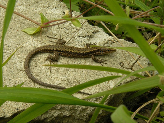 Red-bellied Lizard (Darevskia parvula adjarica)