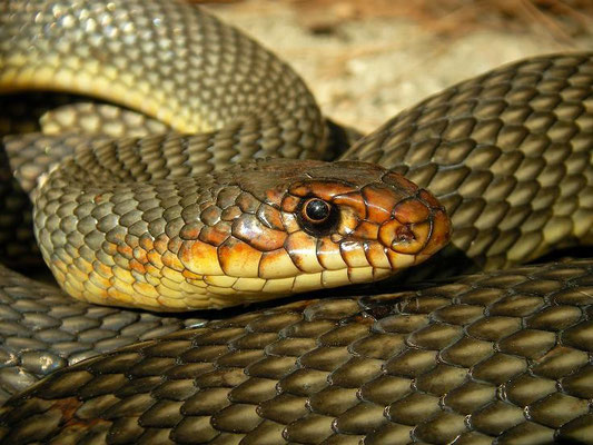 Caspian Whipsnake (Dolichophis caspius), 190cm individual, Samos, Greece, October 2009