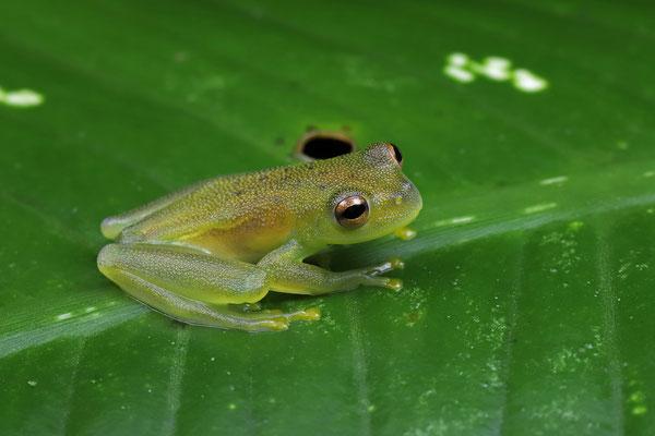 Granular Glass Frog (Cochranella granulosa)