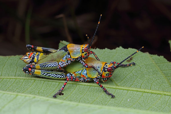 Variegated Grasshoppers (Zonocerus variegatus) mating