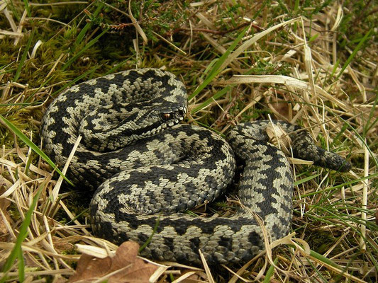 Adder (Vipera berus) male, Drenthe, the Netherlands, April 2014