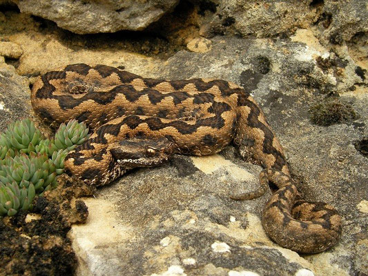 Lataste's Viper (Vipera latastei) male, Burgos, Spain, April 2012