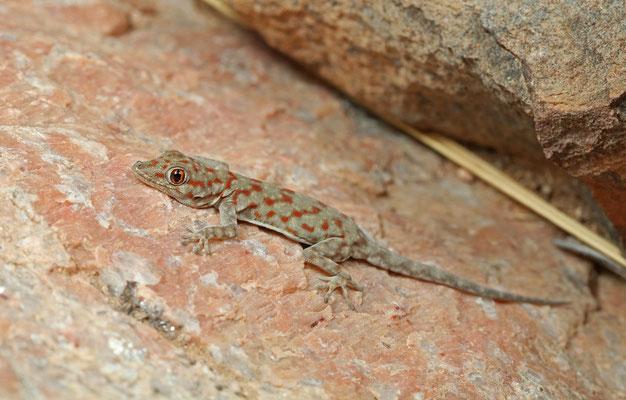 Boulton's Namib Day Geckoes (Rhoptropus boultoni)