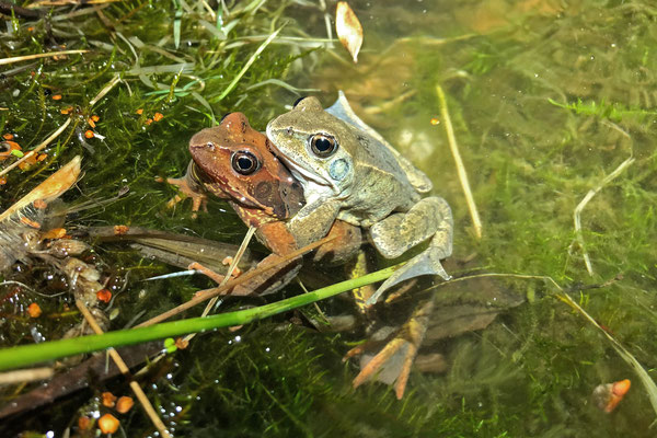 Grass Frog (Rana temporaria) amplexus