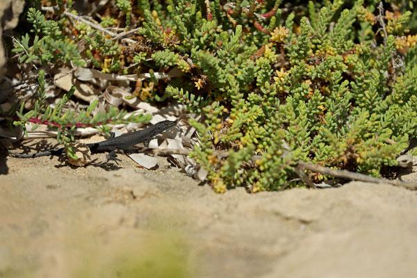 Lilford's Wall Lizard (Podarcis lilfordi jordansi)