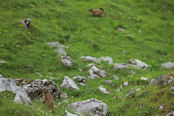 Alpine Marmots (Marmota marmota)