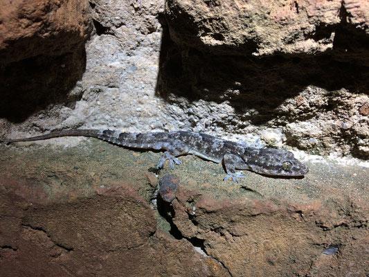 Tropical House Gecko (Hemidactylus mabouia)