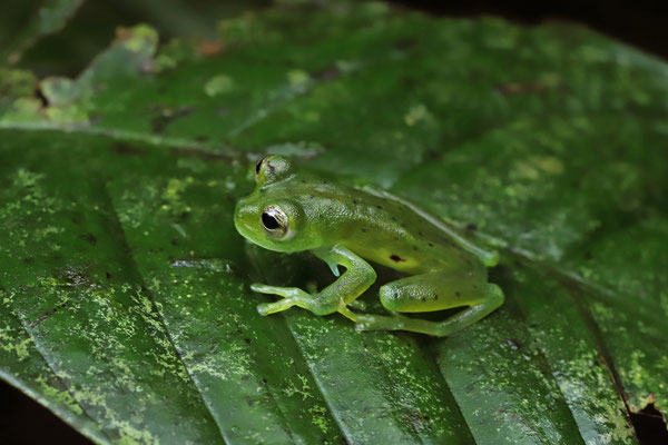 Emerald Glass Frog (Espadarana prosoblepon) male with the characteristic humeral hooks, used by the males for fighting.