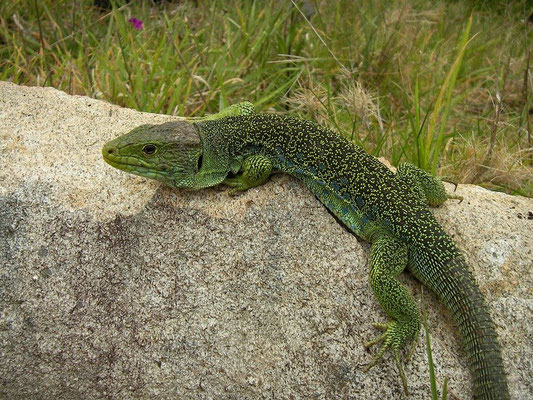 Ocellated Lizard (Timon lepidus) male, Galicia, Spain, May 2012