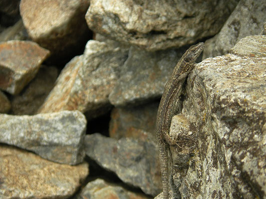 Dark coloured Wall Lizard (Podarcis muralis)