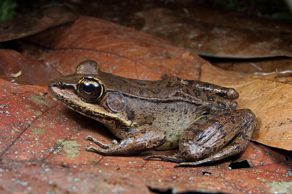 Common Marsh Frog (Lithobates vaillanti)