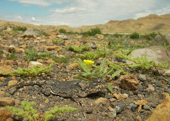 Horvath's Sunwatcher (Phrynocephalus horvathi) in habitat.