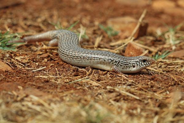 Ocellated Skink (Chalcides ocellatus)