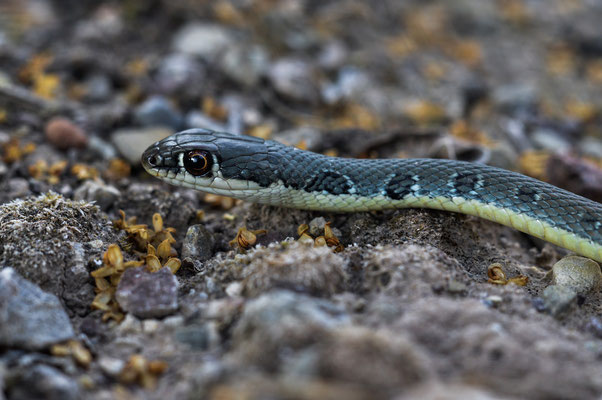 Dahl's Whip Snake (Platyceps najadum) © Madeleine Wouda
