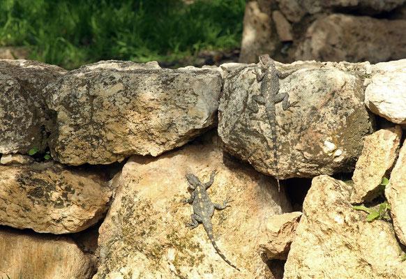 Basking Starred Agamas (Laudakia stellio)