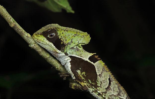 Hernandez's Helmeted Basilisk (Corytophanes hernandesii)