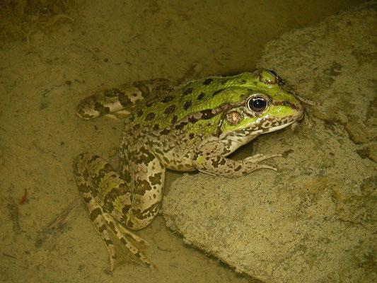 Levant Water Frog (Pelophylax cf. bedriagae)