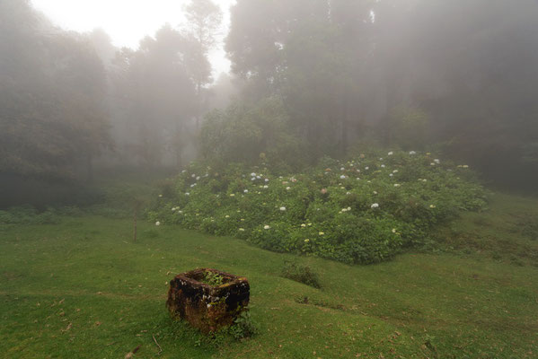 Hortensias in the mist.