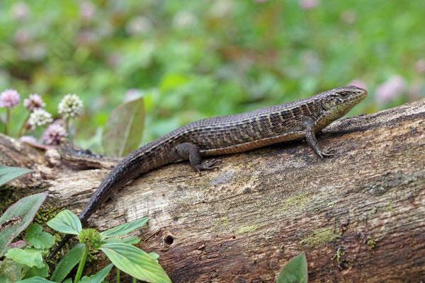 Morelet's Alligator Lizard (Mesaspis moreletii)