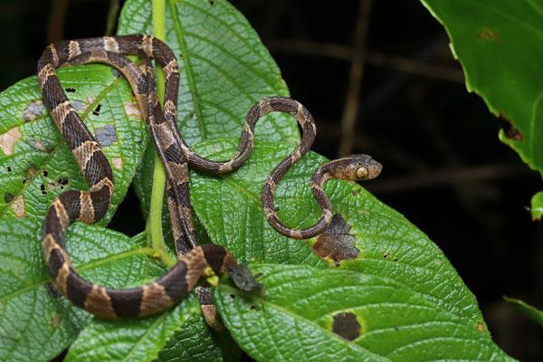 Common Blunt-headed Vine Snake (Imantodes cenchoa)