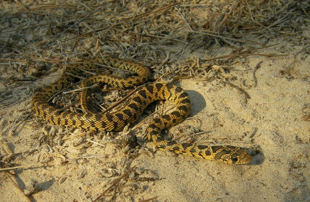 Horseshoe Whip Snake (Hemorrhois hippocrepis) juvenile, Murcia, Spain, October 2011