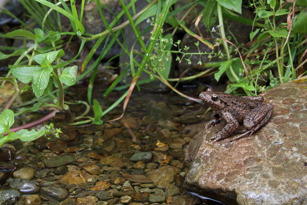 Caucasian Parsley Frog (Pelodytes caucasicus)