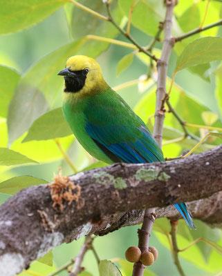 Blue-winged Leafbird (Chloropsis cochinchinensis) © Jasper Boldingh