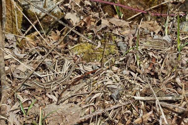 Couple of Sand Lizards (Lacerta agilis) basking
