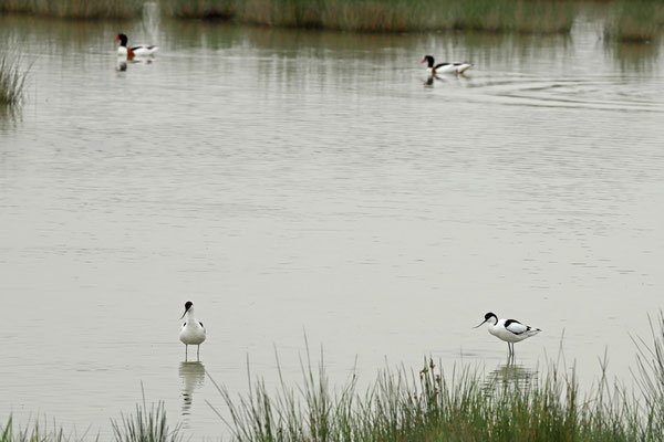 Pied Avocets (Recurvirostra avosetta) and Common Shelducks (Tadorna tadorna).