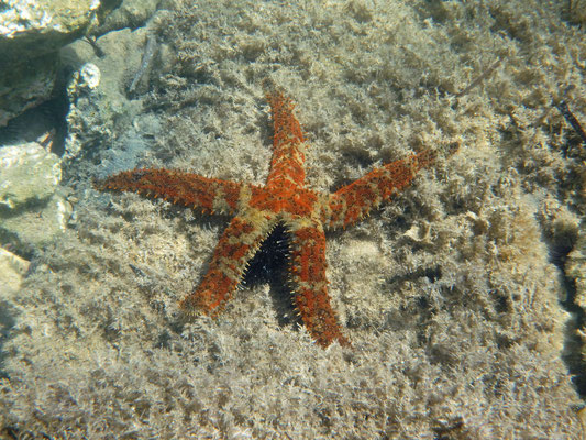 Starfish eating an urchin.